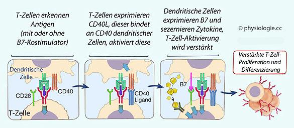 zytotoxische t zellen