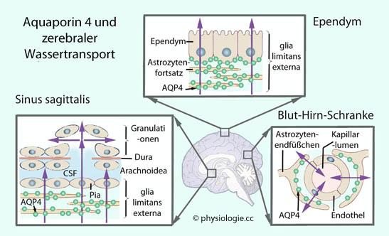 Physiologie Glia Und Liquor