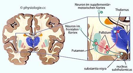 Physiologie motorischer Hirnrindenareale