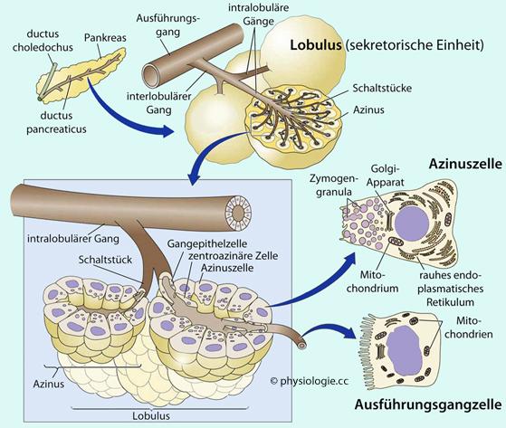 Physiologie Funktion exokrines Pankreas