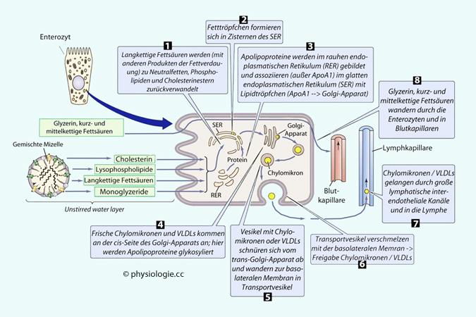 Physiologie Funktion Verdauungsprozesse