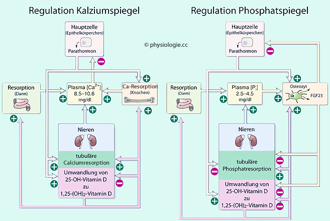 Physiologie: Kalziumhomöostase
