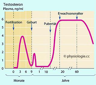 Physiologie: Entwicklung des männlichen Sexualsystems