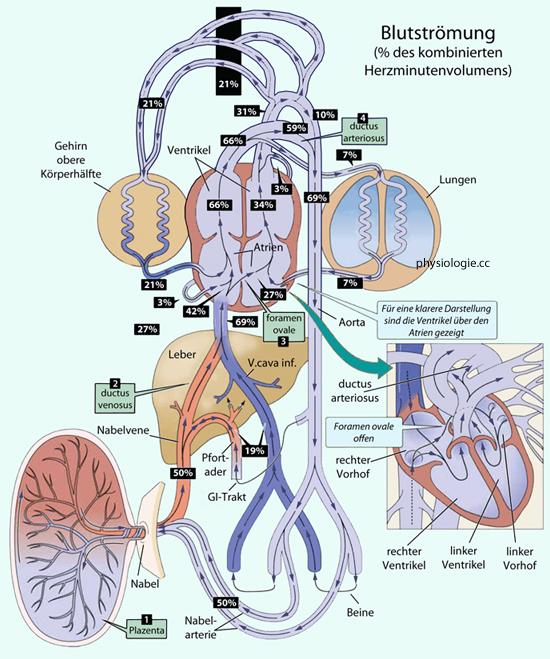 Physiologie der Schwangerschaft