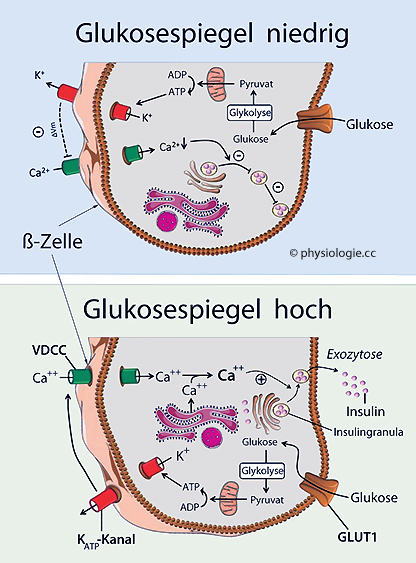 Physiologie: Insulinsystem