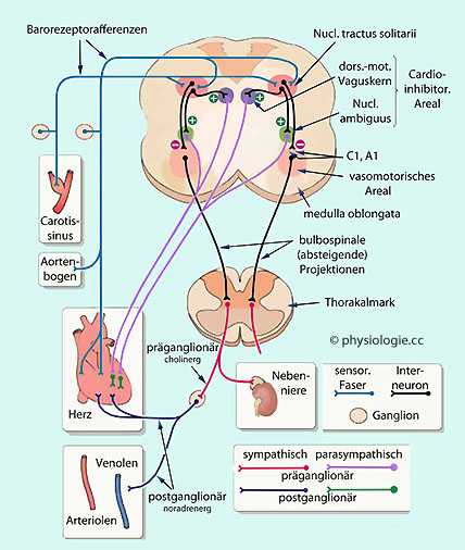 Physiologie: kardiotope Faktoren