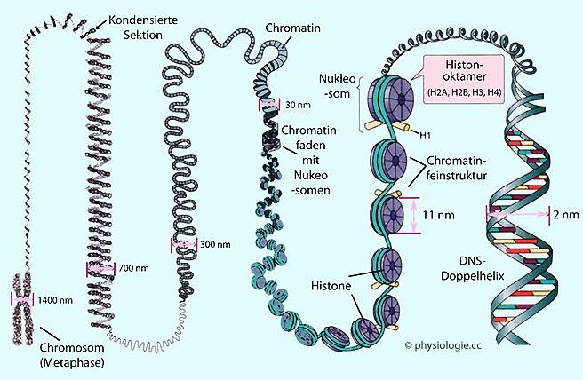 Wachstumsfaktoren, Gene, Wundheilung, Mitose, Proteinsynthese