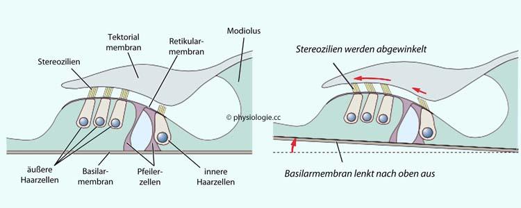 Physiologie: Sprache und Schalltransduktion