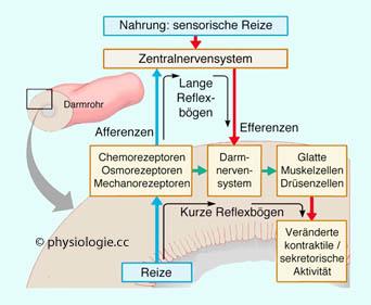 Physiologie Funktion Darmnervensystem Motorik Transport