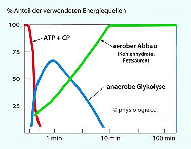 Physiologie der Muskelfasern