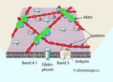 abstoßungsreaktion nach stammzellen