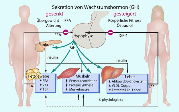Physiologie: Organ-Interaktionen