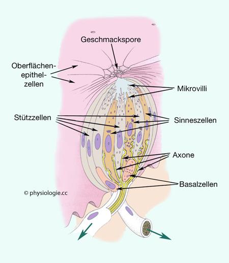 Physiologie: Geruchs- und Geschmackssinn