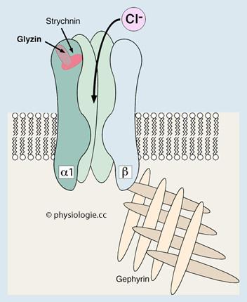 funktion einer synapse