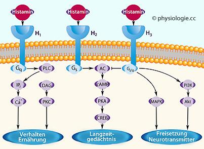 atropin wirkung an der synapse