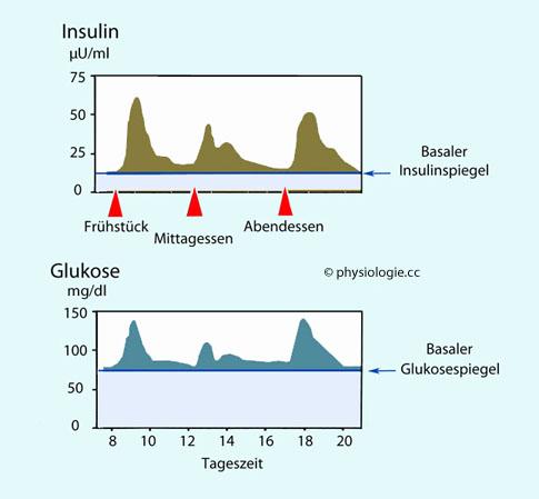 Physiologie: Insulinsystem