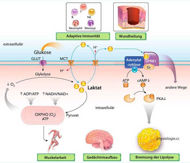 Physiologie: Substratflüsse im Körper