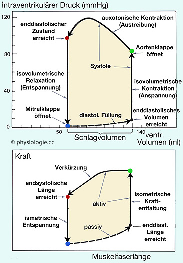 Physiologie: Herzmechanik