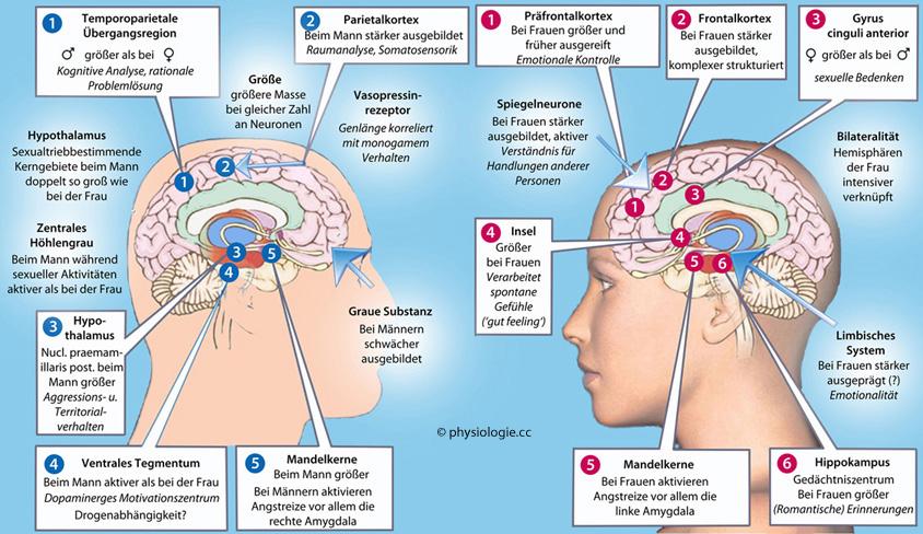 Quelle: http://physiologie.cc/Mann_Frau_Gehirn.jpg