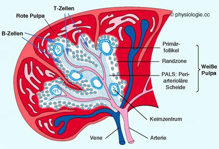 Physiologie des Lymphgewebes