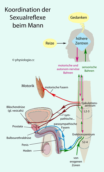 Physiologie der Kohabitation