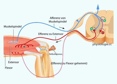 Physiologie: Tonus- und Reflexprüfung