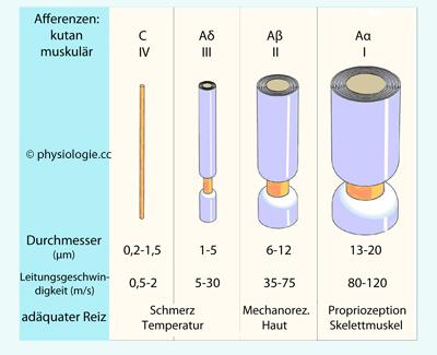 saltatorische erregungsleitung am axon