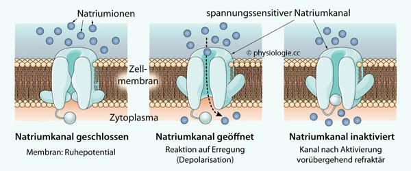 hemmende synapsen funktion