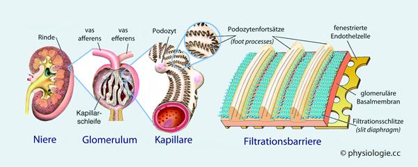 Physiologie: Funktion der Nieren