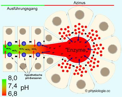 verdauungsenzyme der bauchspeicheldrüse