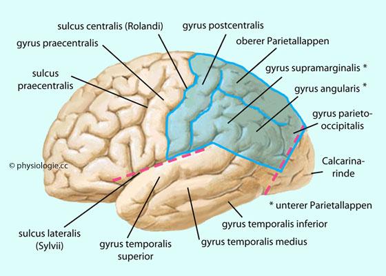 Physiologie: Okzipital- und Parietallappen