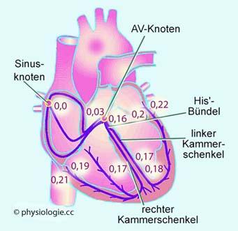 Physiologie: Erregungsausbreitung im Herzen