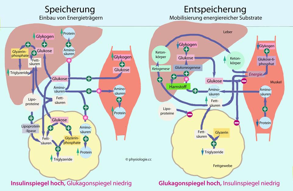 Physiologie: Belastungsstoffwechsel