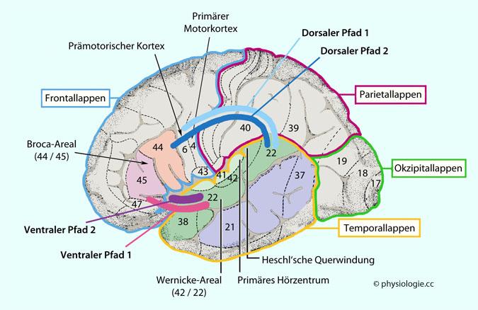 Physiologie: Temporalhirn - neokortikal