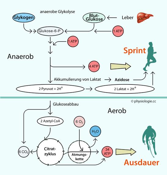 Aerobe energiegewinnung - Der Laufgedanke: Von..