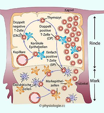 Physiologie: T-Zellen, Zytokine