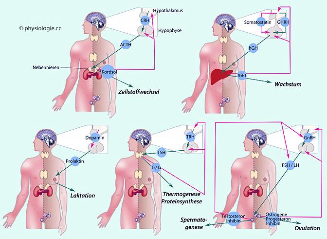 proteinsynthese durch testosteron