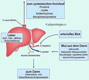 cholesterin fettleber