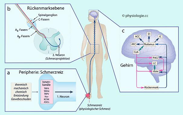 zentrale neuropathische schmerzen